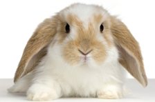 konijnopwit1